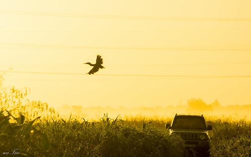 fog bird trinidad woodland nikon d5200 nikkor 70300mm morning sunrise grassland striatedheron butoridesstriata dawn island trinidadandtobago caribbean golden