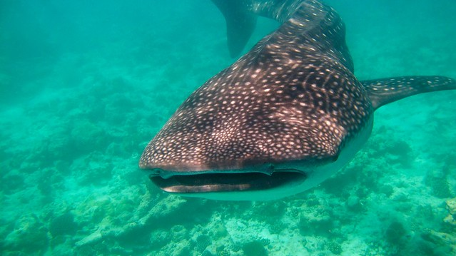Requin baleine (Rhincodon types)
