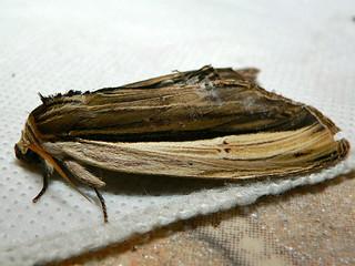 Notodontid Moth (Lirimiris gigantea)