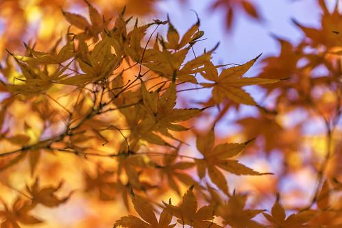 dallas tx texas usa unitedstates unitedstatesofamerica autumn colorful fall fineartphotography image intimatelandscape leaves nature orange photo photograph photography f35 mabrycampbell november 2014 november272014 20141127h6a1099 100mm ¹⁄₃₂₀sec 100 ef100mmf28lmacroisusm