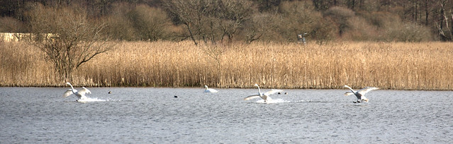 Synchronised Swans