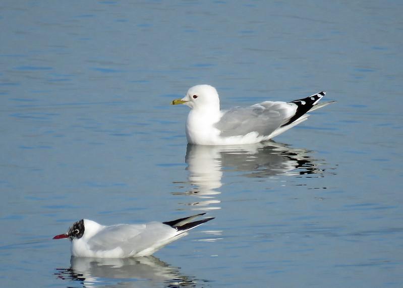 Common Gull - Larus canus