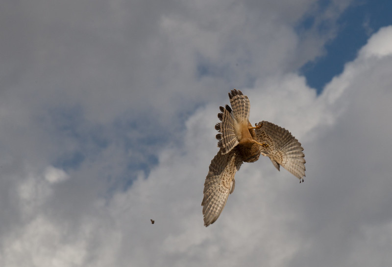 Kestrel hunting a moth