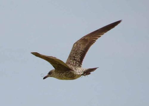 bird wings dominicanrepublic hispaniola richhoyer