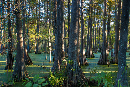 trees usa lake sunrise reeds louisiana atchafalayabasin delta bayou swamp spanishmoss wetlands cypress lakemartin baldcypress