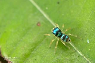 Jumping spider (Phintella sp.) - DSC_0637
