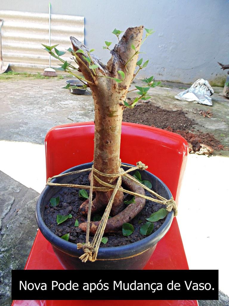 Preparando Pré-Bonsai de Jabuticaba (11)