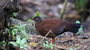 Sri lanka Spurfowl (f) Galloperdix bicalcarata by jaytee27
