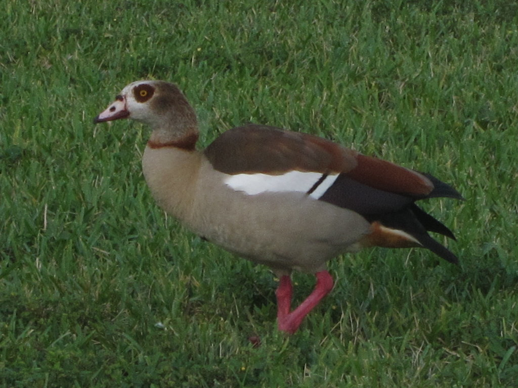 Egyptian Goose, Baptist Hospital, Miami, FL 1/ 11/2016 | Flickr