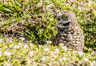 IMG_4129 Cape Coral Burrowing Owl | by Wallace River