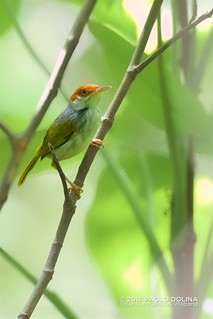 Philippine tailorbird (Orthotomus castaneiceps) | by Paolo Dolina