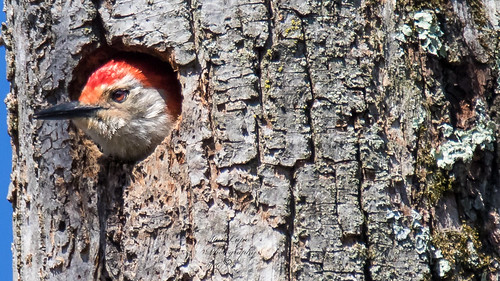 nature birds outdoors wildlife redbelliedwoodpecker woodpeckers naturephotography avians birdphotography wildlifephotography outdoorphotography avianart avianphotography birdsasart seetfreedom