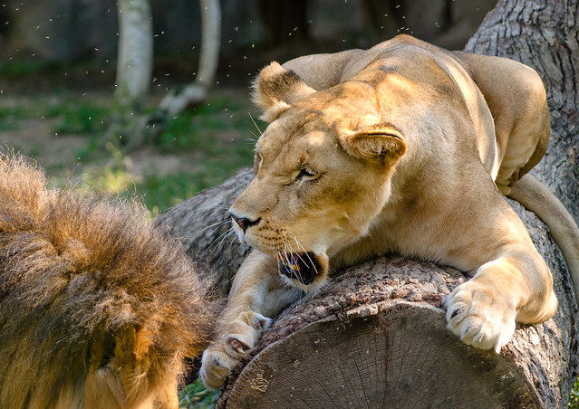 African lioness snarls at the Memphis Zoo in Memphis Tennesee