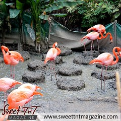 Caribbean Flamingos.  NEW ISSUE: April 2014.  Visit www.sweettntmagazine.com for magazines, forums, and albums on Trinidad and Tobago.  #sweettnt #sweettntmag #sweettntmagazine #trinidadandtobago #trinidad #tobago #trinbago #gotrinbago #tt #tnt #868 #peop