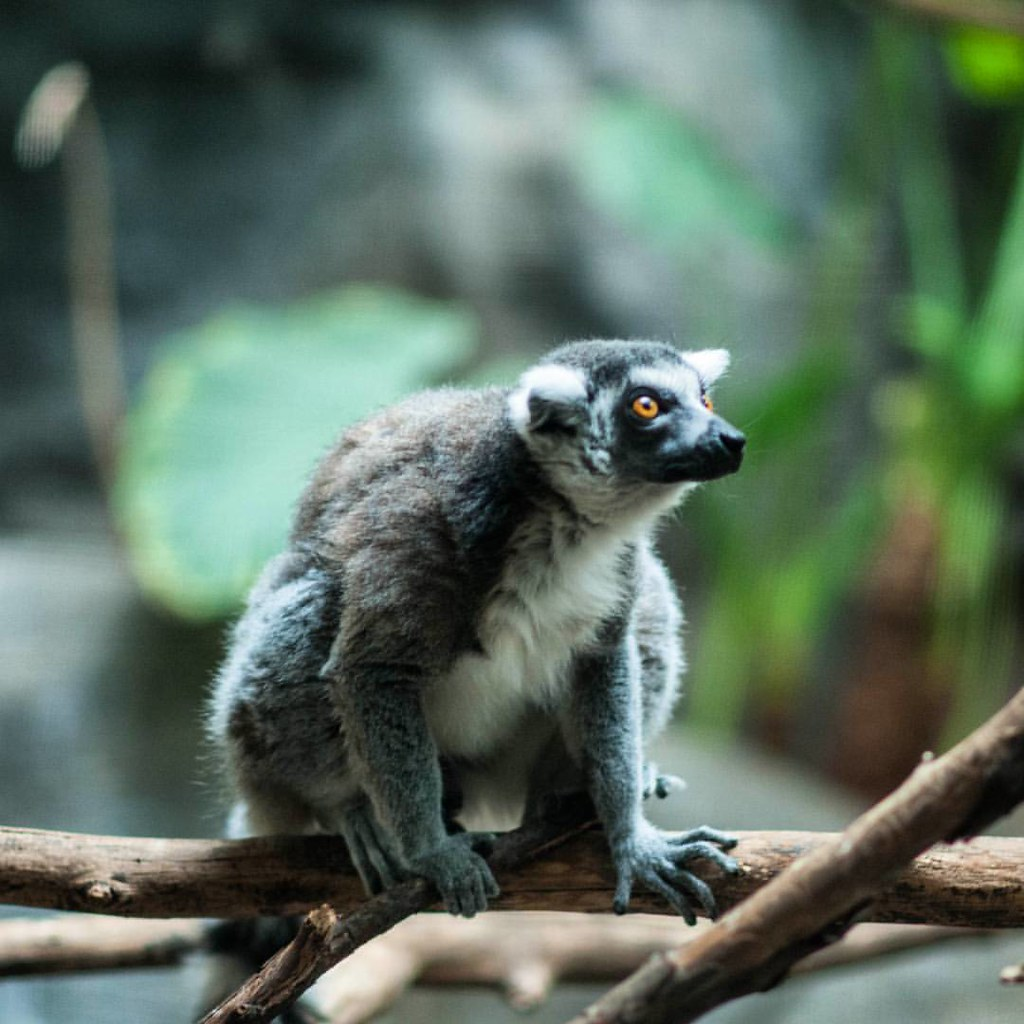 Someone says i look like a lemur  #zoboomafoo #leap #leapl…   Flickr