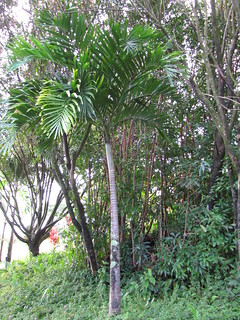 starr-110330-3645-Veitchia_merrillii-habit-Garden_of_Eden_Keanae-Maui | by Starr Environmental