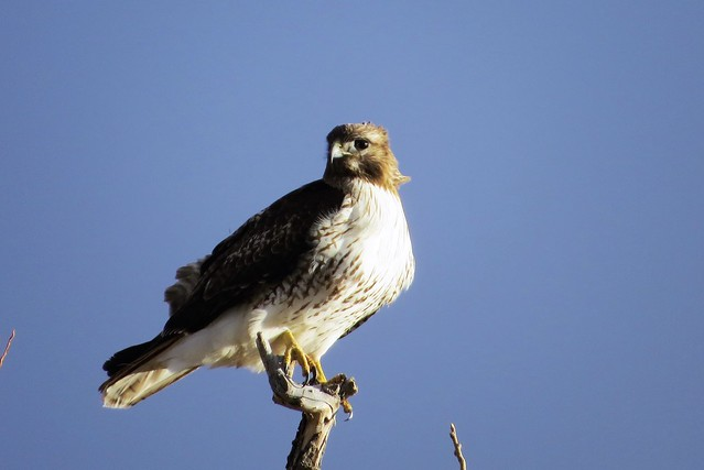 Treetop Red-Tail