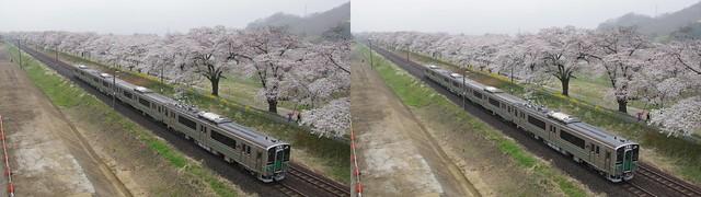 Cherry blossoms and a train (Hitome-senbon-zakura), 4K UHD, stereo parallel view