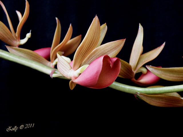 Mormodes fractiflexa - Panama native orchid