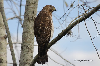 Red-shouldered Hawk (Juvenile) (buteo lineatus) | by Gerald (Wayne) Prout