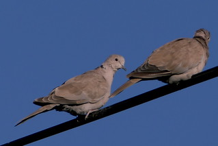 Collared Dove | by Andrew Skotnicki