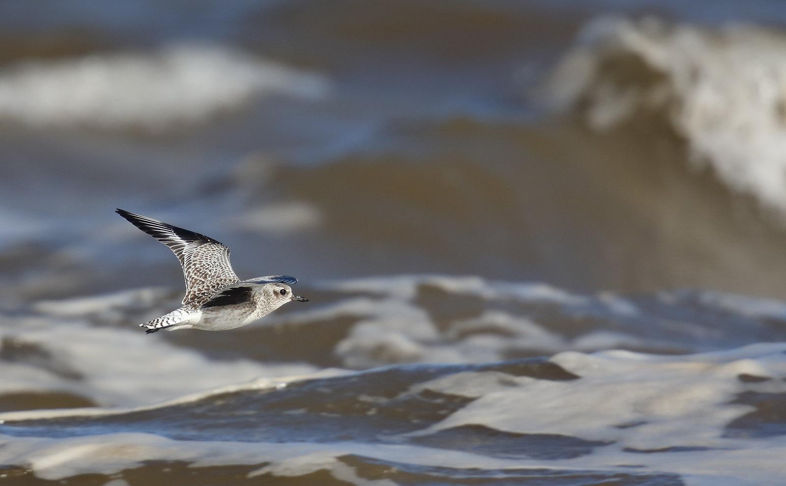 Grey Plover