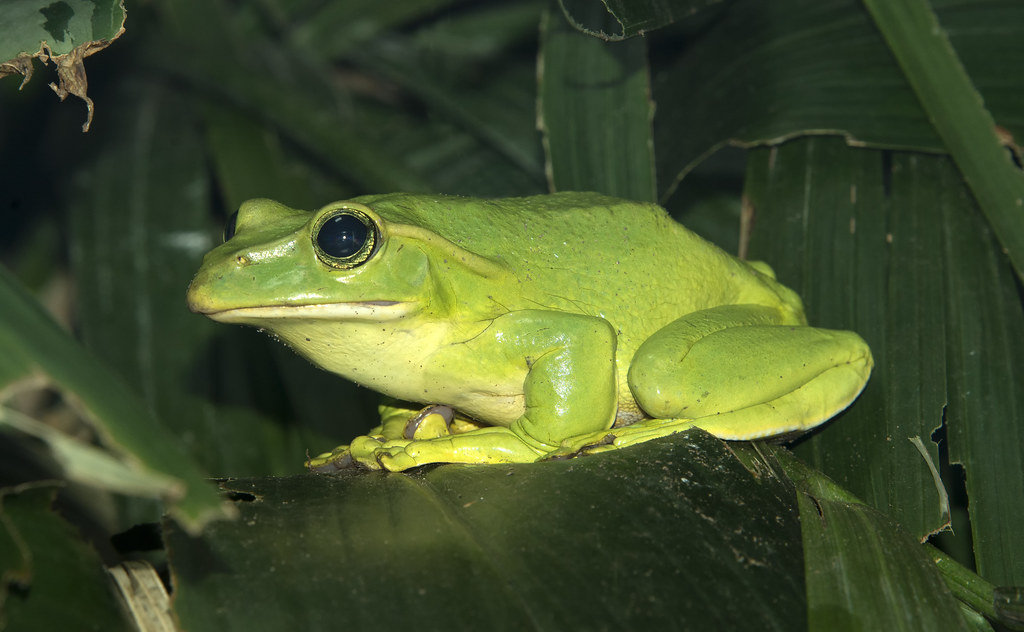 Feae's Flying Frog (Carole's) (Explored)