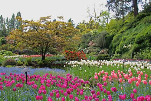 bc vancouverisland tulip butchartgardens