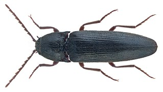 Melanotus villosus (Geoffroy in Fourcroy, 1785) Syn.: Melanotus rufipes (Herbst, 1784); Melanotus erythropus Gmelin 1789 | by urjsa