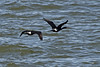Pelagic Cormorant flight by Nikon-gearhead