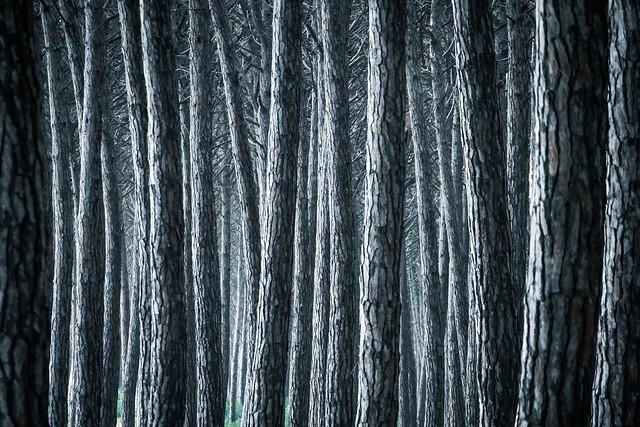 Toskana - Stone pines