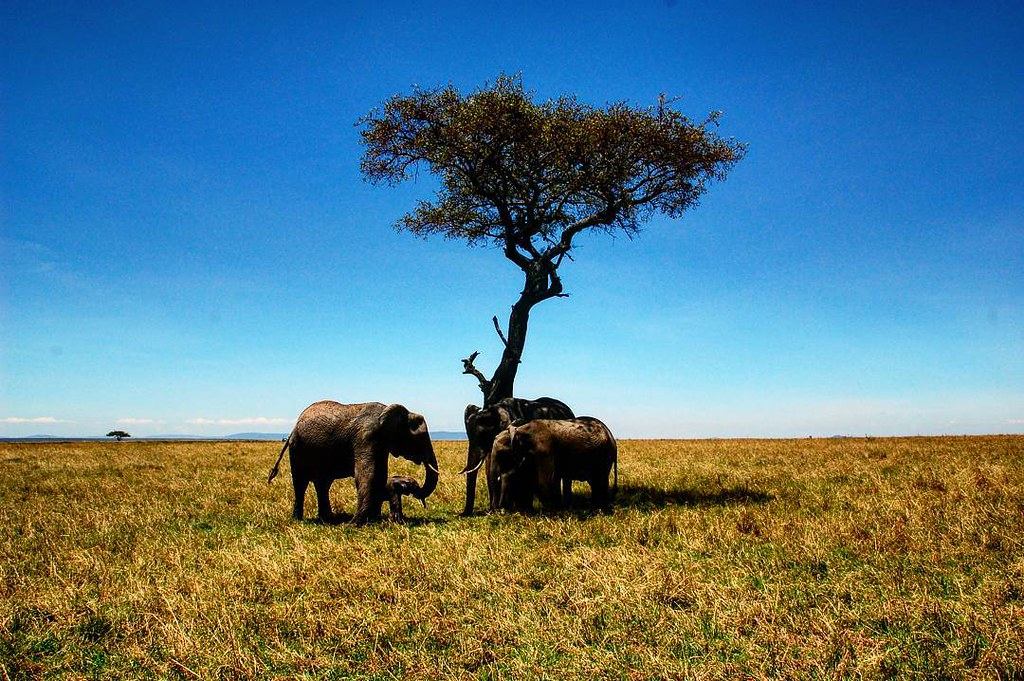 tree#arbol#sun#shadow#sky#animals#elephants#elefantea#som… | Flickr