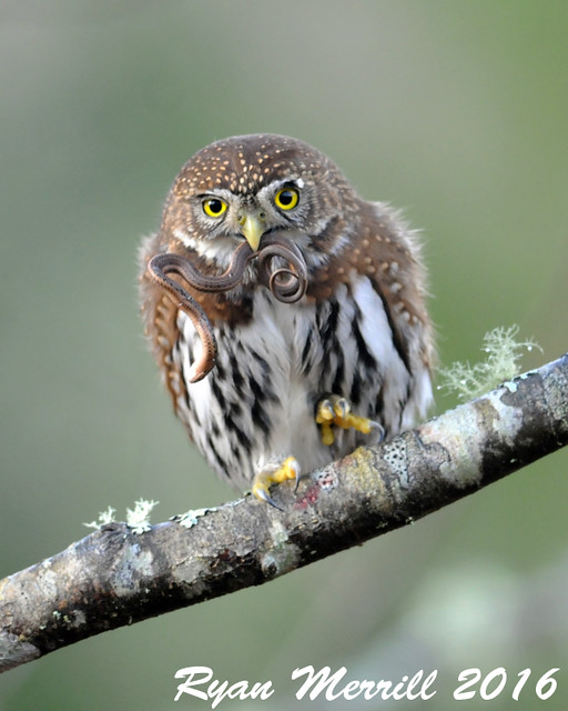 Northern Pygmy-Owl with lunch