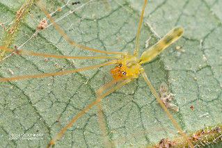 Daddy-long-legs spider (Meraha cf. kipungit) - DSC_6262b