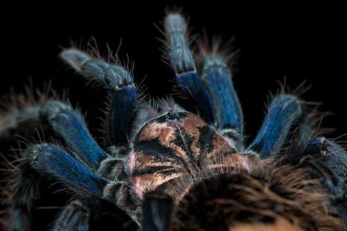 Xenesthis sp. blue   by mygale.de