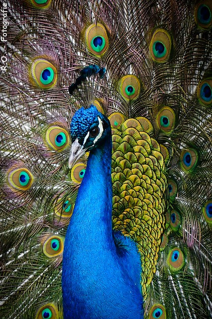 Blauer Pfau / Blue Peacock