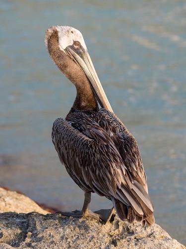 Pelican Portrait | by ramcewan