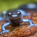 Blue-spotted salamander by Patrick Zephyr Landscape Photography