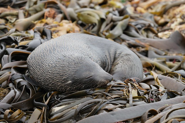 Fur seal asleep on kelp bed, Kaikoura, NZ