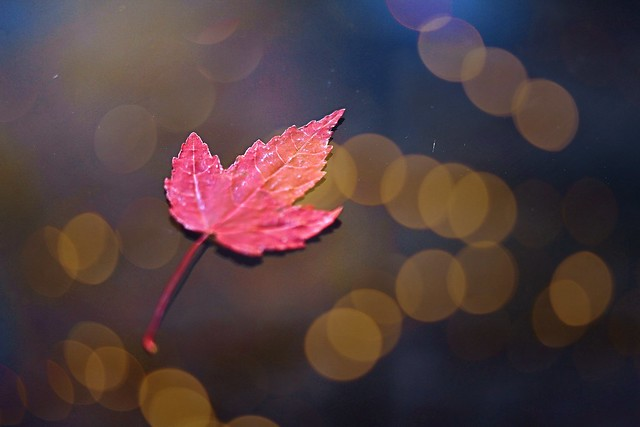 Red maple leaf and bokeh
