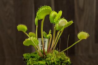Dionaea Seed Grown 006   by Taudan Plants