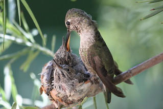 Anna's hummingbird feeding time 3. | by Alexandra Rudge. Peace & love!