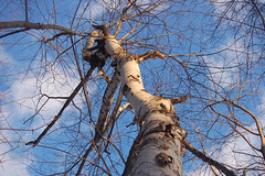 birch in the sky   by SouleMama