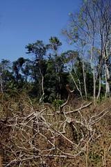 Forest clearing, Mondolkiri