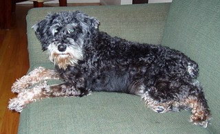 Jessie The Schnoodle | by Francesca (@WorkMomTravels)