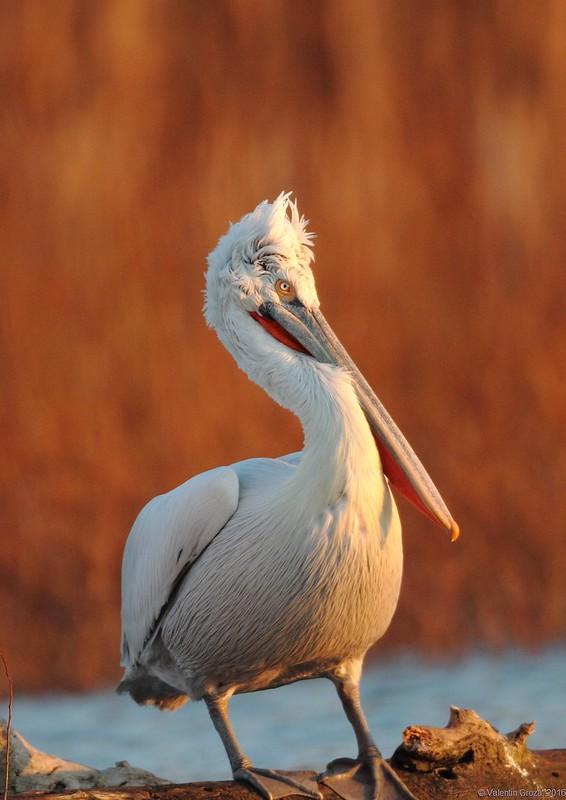 09_pelican cret 004