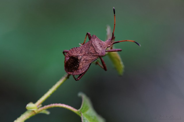 Pentatoma rufipes - Punaise des bois