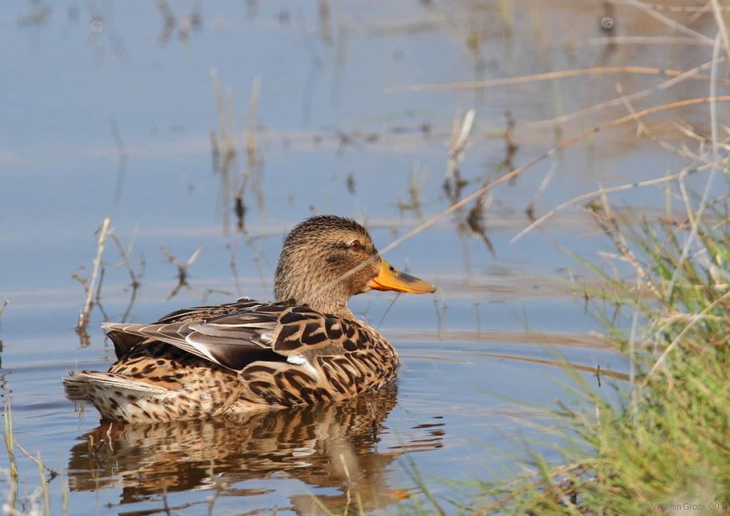 wild duck 02
