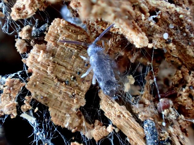 68b Blue Springtails Pogonognathellus sp.