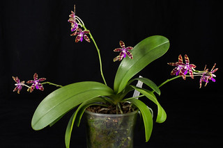 Phalaenopsis bastianii | by Varia69